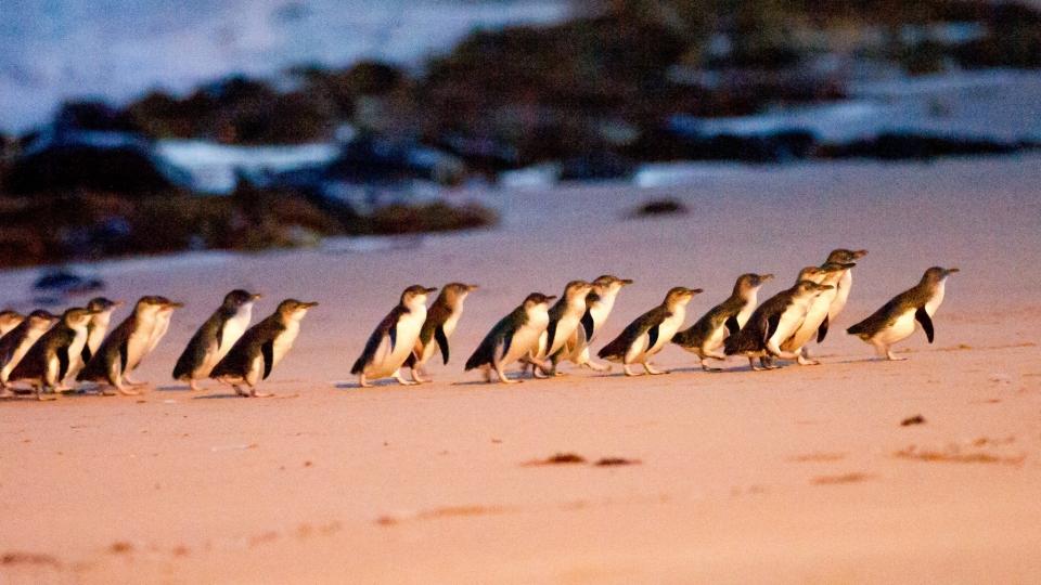 托塔尼 Taltarni 墨爾本 企鵝島